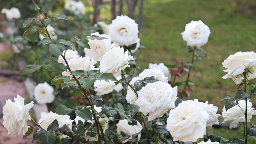 Pink Rose Bush On Turkey Stock Footage Video Shutterstock