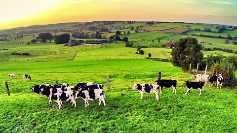 Flying over green field with grazing cows. Agricultural background. Full HD, 1080p