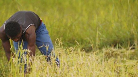 Antandrokomby , Madagascar - 04 30 2018: African farmer is cutting rice with a scythe.