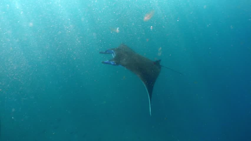 Giant oceanic manta ray in Nusa Penida #1018477651