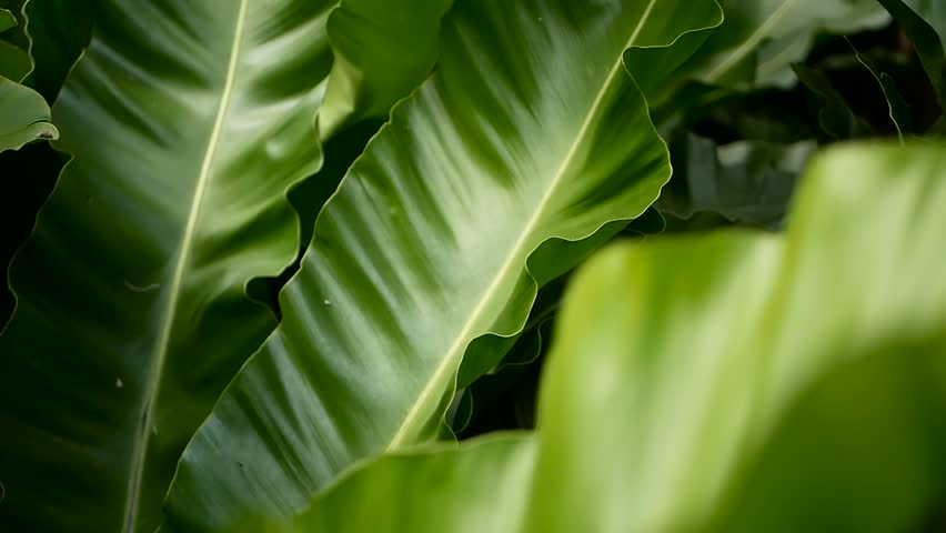 Bird's Nest fern, Asplenium nidus. Wild Paradise rainforest jungle plant as natural floral background. Abstract texture close up of fresh exotic tropical green fresh curly leaves in fantasy dark woods | Shutterstock HD Video #1018601941