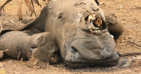 Rhino carcass in the Kruger National Park killed from poaching for its horn CU