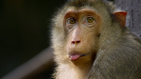 Southern pig-tailed macaque (Macaca nemestrina) portrait