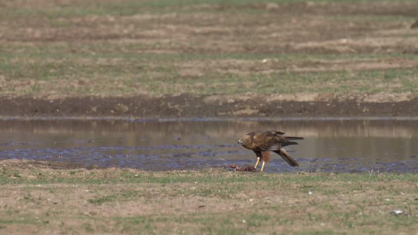 Marsh Harrier Feeding in field, Hula Valley, Israel #1018709101