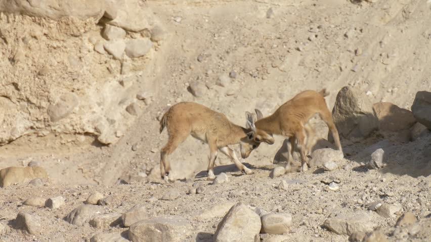 Nubian Ibex Fawns Head Butting Ein Gedi Israel