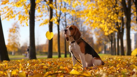 Yellow leaves fall around sitting dog, Beagle turn head, look to sheets and jerk sometimes, looks disappointed or confused by defoliation. Bright yellow colours of autumn, blurred park alley behind