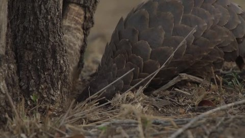 Ground pangolin searching for ants, walking towards camera