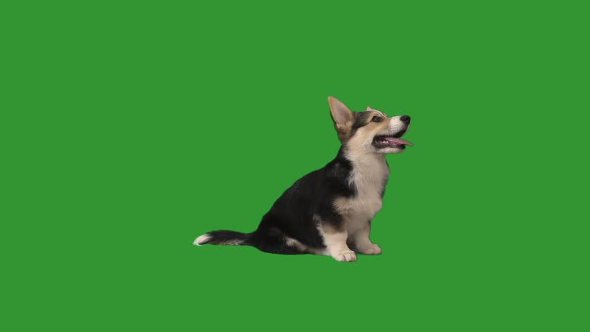 welsh corgi puppy sits and looks at the green screen, side view #1019053351