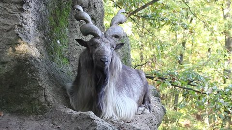 A Markhor sitting on a rock