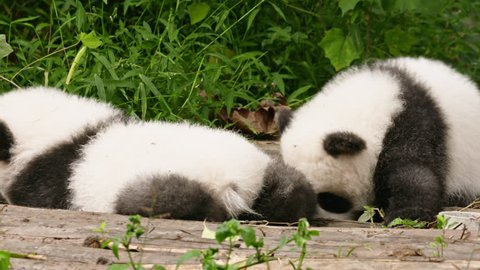 Two newborn giant panda babies play around with each other at the Research Base of Giant Panda Breeding in Chengdu, China.