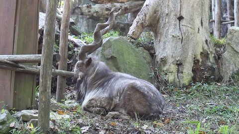 Markhor, Pakistani national animal