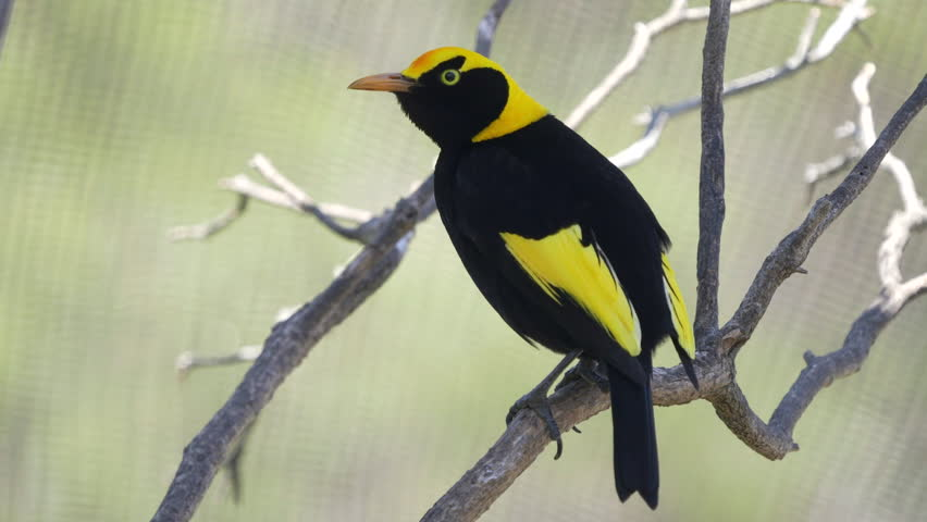 a regent bowerbird perched on a branch in a walk-in avairy at a bird park in australia