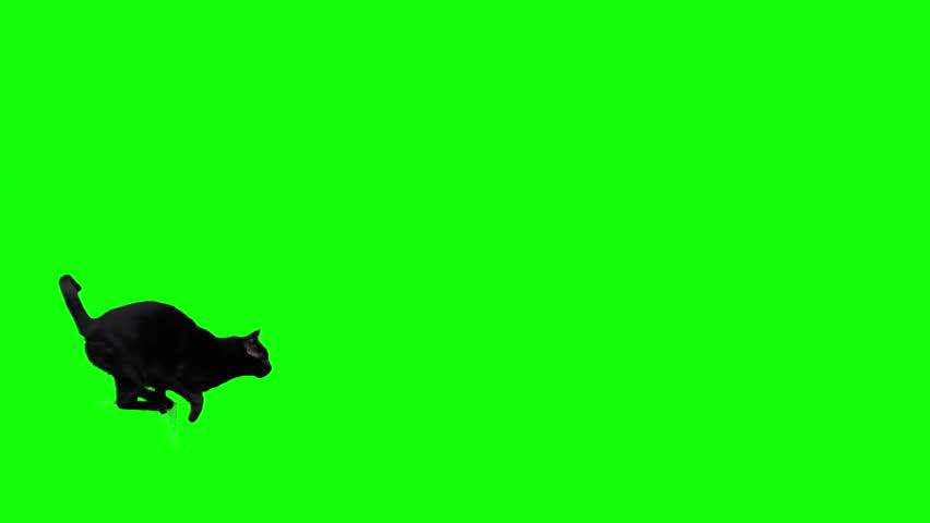 Black cat jumping against green screen #1019548261