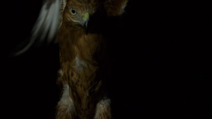 a hawk sits down after flying at night #1019608501