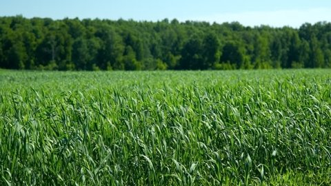 pictorial view vast fresh green wheat field sway in strong wind near forest on sunny day under clear blue sky