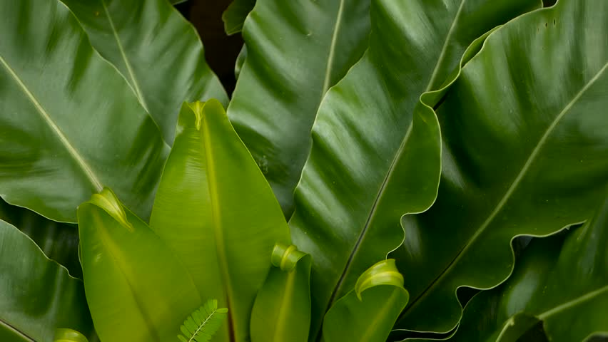 Bird's Nest fern, Asplenium nidus. Wild Paradise rainforest jungle plant as natural floral background. Abstract texture close up of fresh exotic tropical green fresh curly leaves in fantasy dark woods | Shutterstock HD Video #1019615521