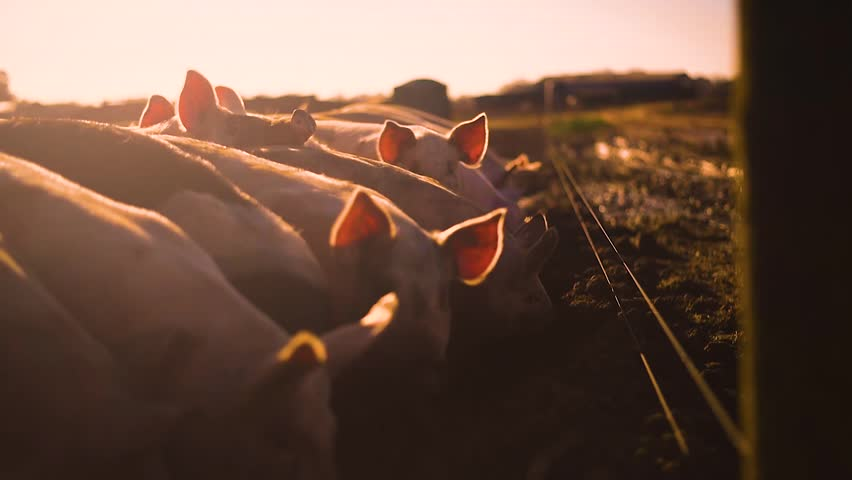 Pigs on a farm slow motion shot in evening sunshine | Shutterstock HD Video #1019622601