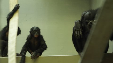 Two baby bonobo baby apes playing- one is spinning in circles, one hanging and swing. An adult bonobo ape sits to the right.
