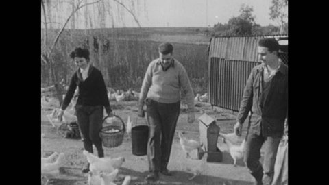 1950s: Man pours feed into container. Chickens peck at feed. Two men and woman walk through flock of chickens. Hogs eat from trough.
