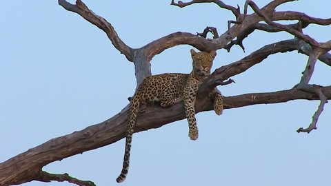 Young leopard resting on the branch of the tree in Chobe National Park in Botswana. Leopards are stronger climbers and love to rest on the branches where they fill safe and relaxed.