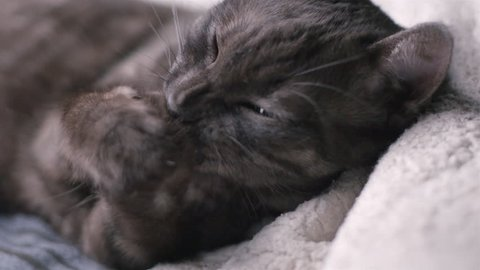 Beautiful cat relaxing, playing, grooming, slow motion