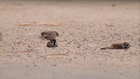 Documentary Animals House sparrow taking a sand bath  to get rid of the parasites that they have on their skin and the feathers. The parasites are smothered in the act if function well they can fly