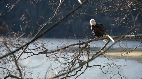 Bald Eagle Perched in a Tree Zoom 4K UHD. A zoom shot on a Bald Eagle as it perches on a tree branch over the water. 4K. UHD.