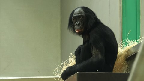 A bonobo ape is sitting on a platform, facing left and looking around. Another bonobo swings in the foreground.