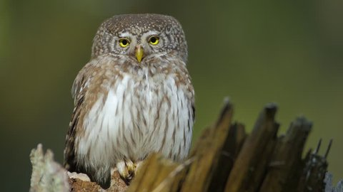 Eurasian Pygmy-owl - little owl - during the mating season in old trees