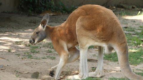 A kangaroo facing left, turns head toward the camera, and then turns body forward toward the camera.