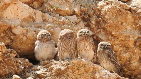 Five little owls (Athene noctua) owlets by their rock cavity nest