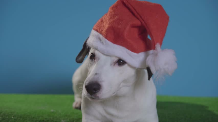 Jack russell terrier dog with santa hat on turquoise background  | Shutterstock HD Video #1020883351