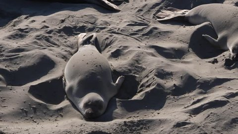 Elephant seal cover himself with sand