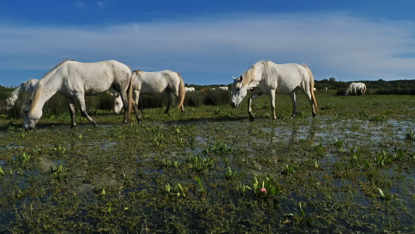 White Camargue horse, Camargue, France | Shutterstock HD Video #1021019611