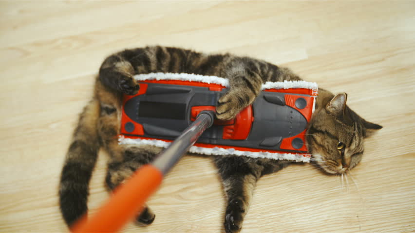 Cleaning floor with cute cat in slow motion HD. Person point of view of British breed cat on the stick in focus while sliding on home floor cleaning dust. Cat doesn't care. | Shutterstock HD Video #1021069561