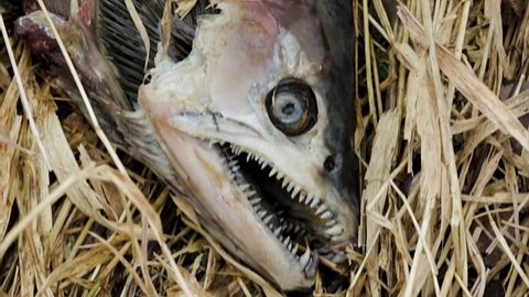 Dead fish close up. Global warming and over fishing concept. Close up of dead salmon with mouth wide open. Food disaster in the modern world.