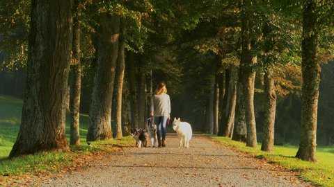 A caucasian woman is walking with four dogs under the promenade of trees. Sunset in the park. Professional dog walking service concept.