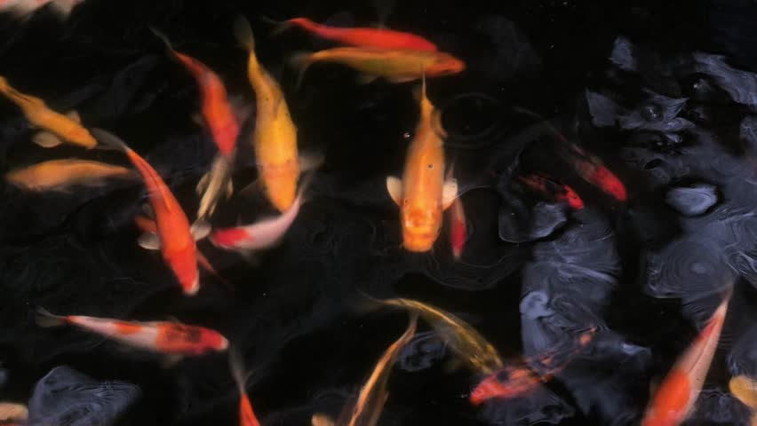 Water in the pond and ripples, with colorful Fancy carp or Koi carp fish swim, has sunshine shiny on the water. Dark background. Selective focus. | Shutterstock HD Video #1021571761