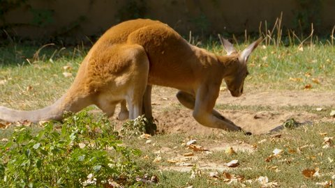 Shot of a kangaroo, standing in a shallow hole facing right. It bends forward and digs in the sand.