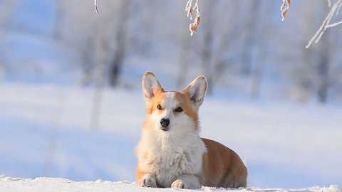 Welsh corgi Pembroke in sunny winter day