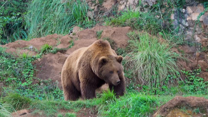 Eurasian brown bear (Ursus arctos arctos), also known as the European brown bear #1021776571