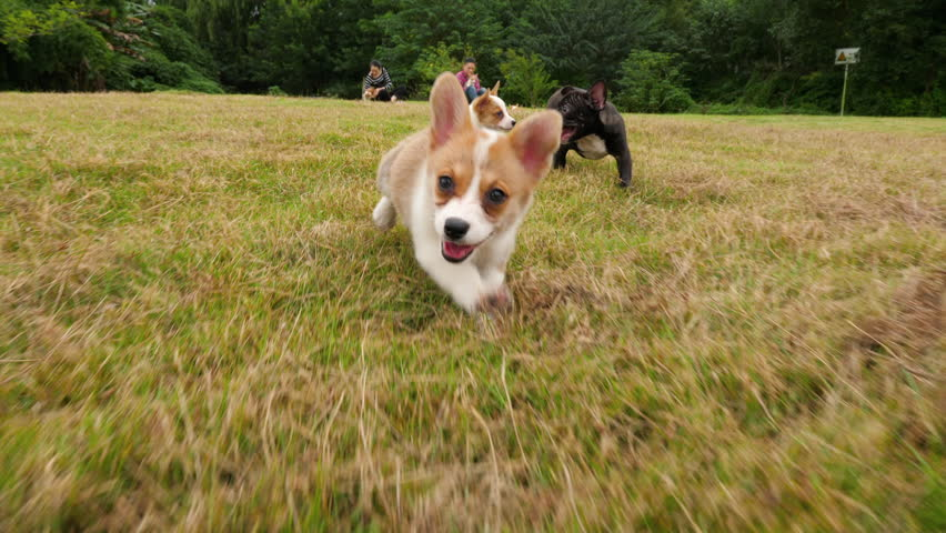 Slow motion of lovely Corgi puppy running to the camera outdoor in the field, happy dog playing after the camera, 4k #1021840051