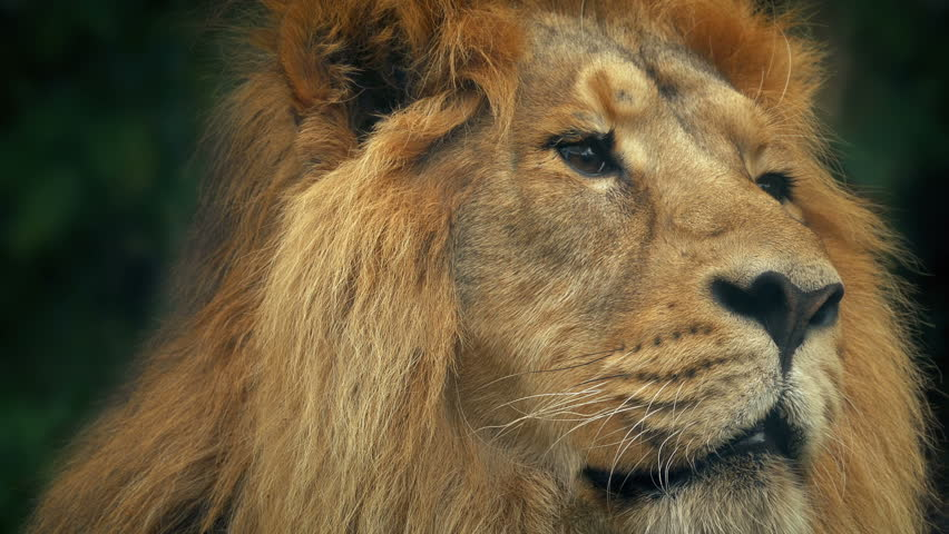 Lion Face Portrait #1021948171