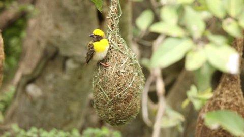Male Baya Weaver on it's hanging nest near Pune, Maharashtra, India.