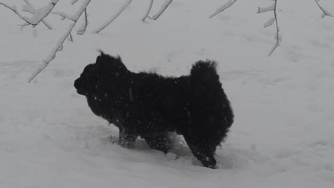 Black chow chow dog in snow turning running leaping snowing with fluffy furry fur moving behind tree
