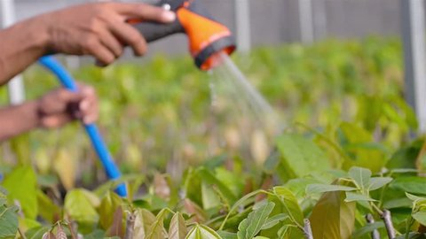 Orange Water Spray for watering Young Cacao Plant At A Nursery