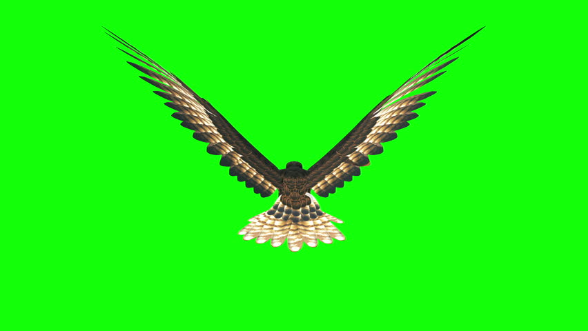 3d render hawk flying loop on green screen ,back view