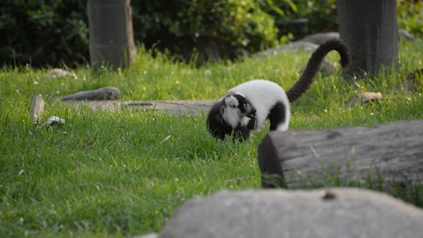 Funny lemur looking for food. The black and white ruffed lemur (Varecia variegata)  | Shutterstock HD Video #1022342311