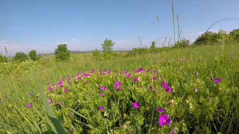 Bloody cranesbill flowers in the wind on the meadow (Geranium sanguineum)