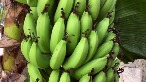 See how bananas grow, bananas hang on a palm tree, green bananas / platano.  Dominican Republic